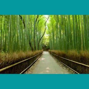 Bambu Ağaçlar