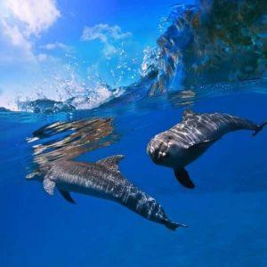 Yunuslar Dalgalı Deniz
